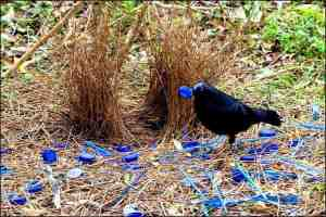 The Bowerbird has swag